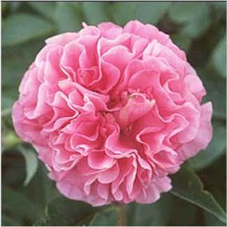 Birth Flowers -Carnation