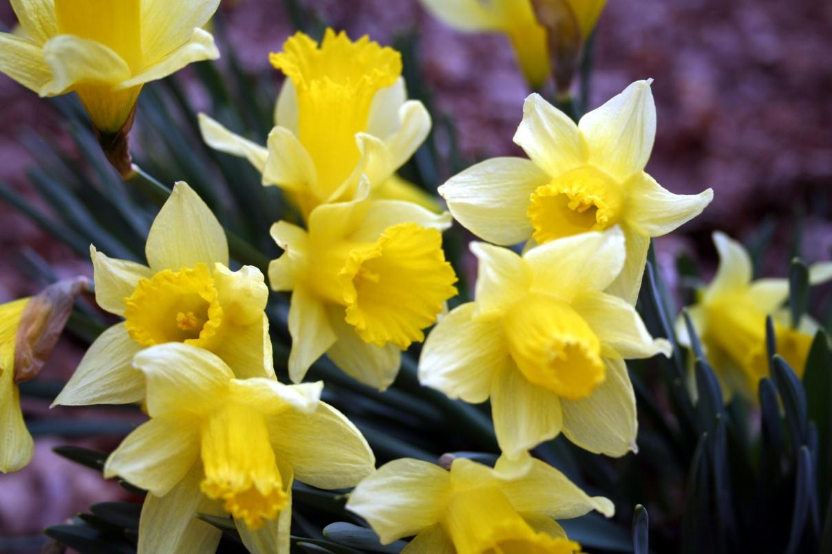 Birth Flowers -Daffodil