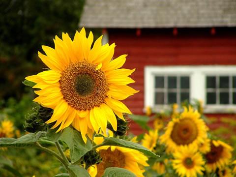 Birth Flowers -Sun Flower