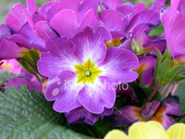 Birth Flowers -Violet