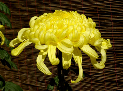 Birth Flowers -Chrysanthemum