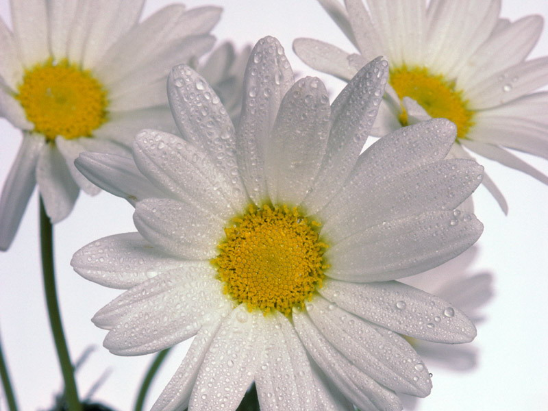 Birth Flowers -Daisies