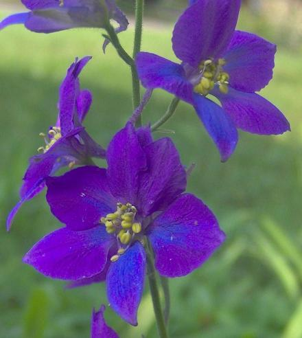 Birth Flowers -Larkspur
